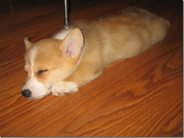 Danny, our Corgi. Cutest. Puppy. Ever.